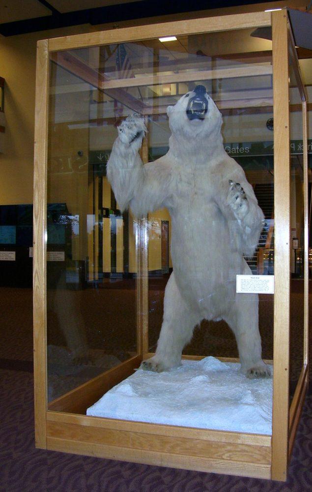 Ted Stevens Anchorage International Airport Polar Bear