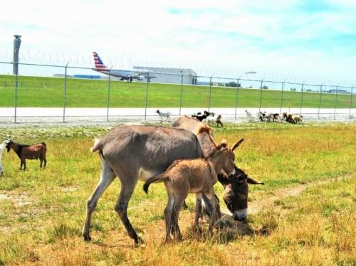 OHARE -baby burro